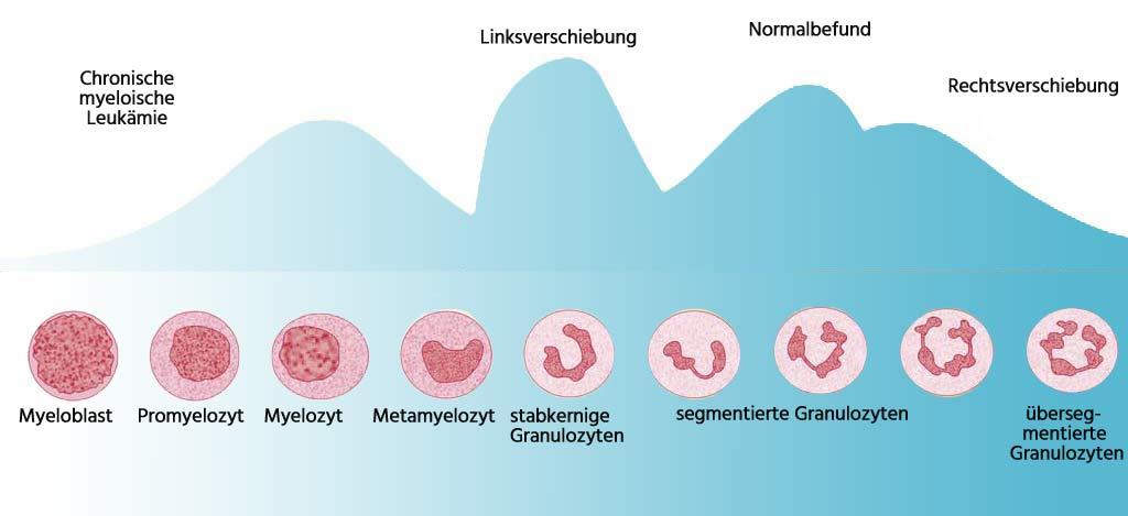 Entwicklungsstufen Granulozyten