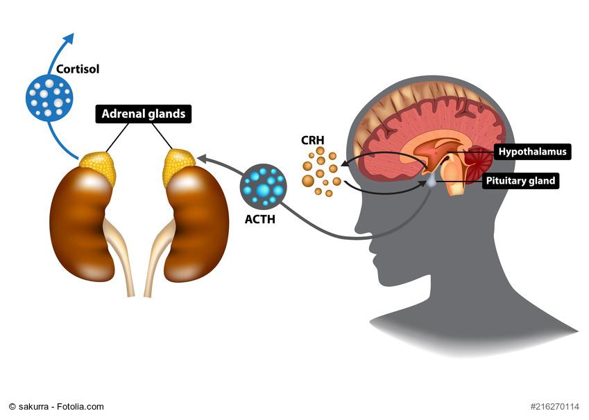 ᐅ Hypophyse und Nebennieren - die Schaltzentrale des Hormonsystems