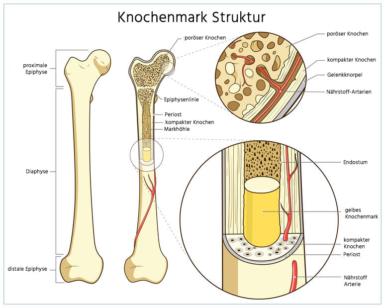 Knochenmark Struktur
