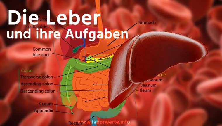 ᐅ Die Leber schützt und entgiftet - Lebererkrankungen & Ursachen
